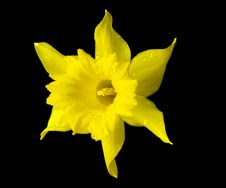 Free Yellow Daffodil Flower With Water Drops Royalty Free Stock Photography - 19306717