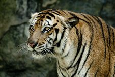 Free Tiger Stock Images - 19307014