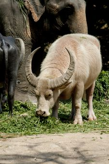 Free White Buffalo In Thailand Stock Photography - 19307092