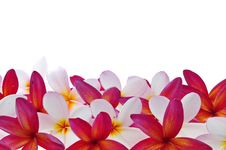Free Frangipani Or Plumeria Tropical Flower Stock Photos - 19307483