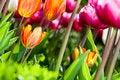 Free Many Coloured Tulips V3 Royalty Free Stock Photo - 19312105