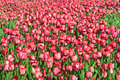 Free Field With Red Tulips Royalty Free Stock Photography - 19318687