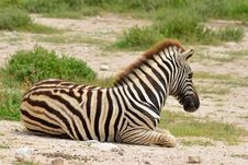 Free Young Zebra Royalty Free Stock Image - 19311536