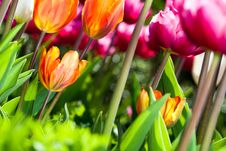 Free Many Coloured Tulips V3 Royalty Free Stock Photo - 19312105