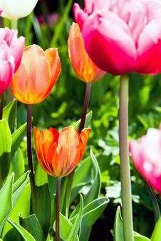 Free Many Coloured Tulips V1 Royalty Free Stock Photo - 19312145