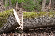 Free Cut Tree Stock Image - 19313481