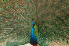 Free Peacock Showing Its Beautiful Feathers Stock Photo - 19313570