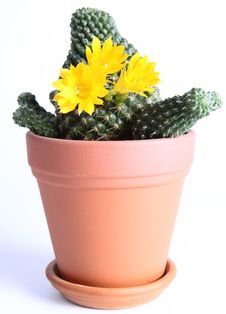 Free Cactus Plant Blooming Stock Photography - 19313922
