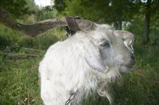 Free Goat, Close-up. Royalty Free Stock Photography - 19314607