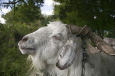 Free Goat, Close-up. Royalty Free Stock Photos - 19314628