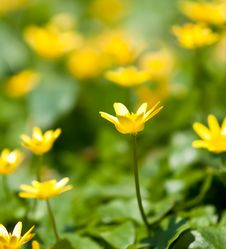 Free Yellow Lesser Celandine Stock Photos - 19314743