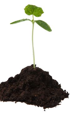 Free Cucumber Seedling Stock Photo - 19315400