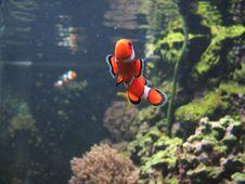 Nemo Clown Fish Royalty Free Stock Photos