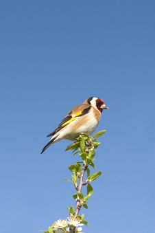 Free Goldfinch  / Carduelis Cardueli Royalty Free Stock Images - 19315479