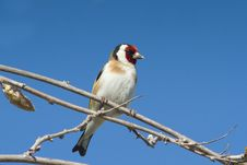 Free Goldfinch  / Carduelis Cardueli Royalty Free Stock Images - 19315489