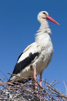 Free White Stork  / Ciconia Ciconia Stock Photography - 19315532