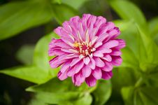 Free Chrysanthemum Stock Image - 19316871