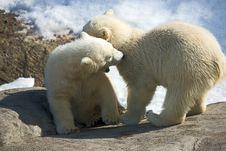 Free Polar Bears Royalty Free Stock Image - 19318086