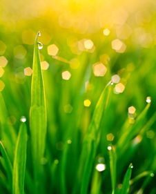 Free Dew On Blades Of Grass Royalty Free Stock Photos - 19318298