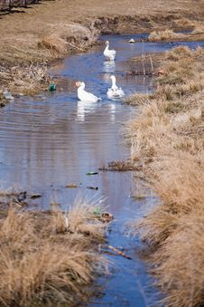 Free Geese In Dirty Water Royalty Free Stock Photos - 19318868