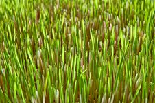 Young Green Grass Of Wheat Stock Images