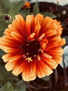 Free Big Vibrant Orange Flower Royalty Free Stock Photography - 193195487