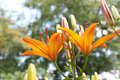 Free Orange Lily Royalty Free Stock Images - 19326159