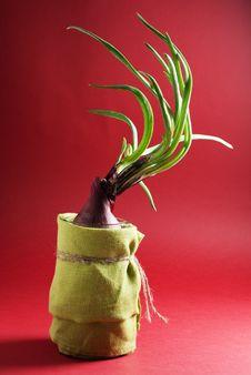 Free Fresh Spring Onion Royalty Free Stock Photos - 19320848