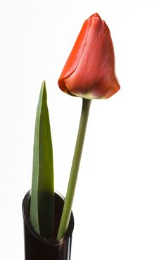Free Red Tulip Stock Images - 19320854
