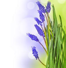 Free Blue Grape Hyacinths Stock Photography - 19321772