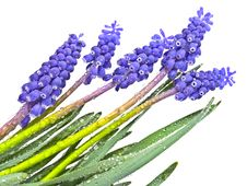 Free Grape Hyacinths Royalty Free Stock Photography - 19321797