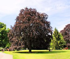 Free A Copper Beech Stock Photography - 19321802