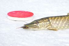 Free Pike On The Ice Stock Photo - 19323370