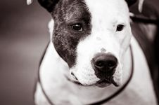 American Staffordshire Terrier Portrait Stock Photography