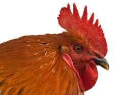 Free Red Rooster. Stock Image - 19325451