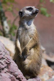 Free Meerkat (Suricata Suricatta) Stock Photos - 19325533