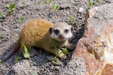 Free Baby Meerkat (Suricata Suricatta) Stock Photo - 19325570