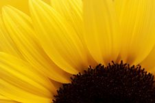 Free Sunflower Royalty Free Stock Photography - 19326497