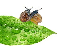 Free Two Snails On Dewy Leaf Royalty Free Stock Photos - 19327438
