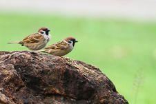 Free Sparrow Stock Photos - 19328623