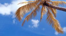 Free Coconut Tree Royalty Free Stock Photo - 19328705