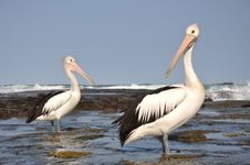 Free Australian Pelicans Royalty Free Stock Photography - 19329047