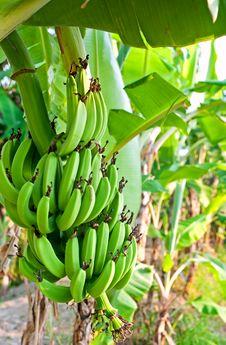 Free Unripe Bananas Stock Photo - 19329910