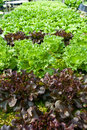 Free Hydroponic Vegetable Royalty Free Stock Photos - 19332918