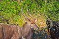 Free Male Nyala Standing By A Tree Royalty Free Stock Image - 19337656