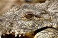 Free Nile Crocodile Stock Photos - 19337693