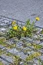 Free Yellow Dandelion Stock Photos - 19339213