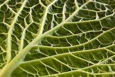 Free Cabbage Leaf Underside Stock Images - 19330464