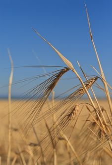 Ears Of Wheat Against The Sky Royalty Free Stock Image