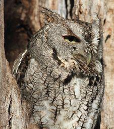 Free Gray Screech Owl In Tree Stock Photos - 19334353